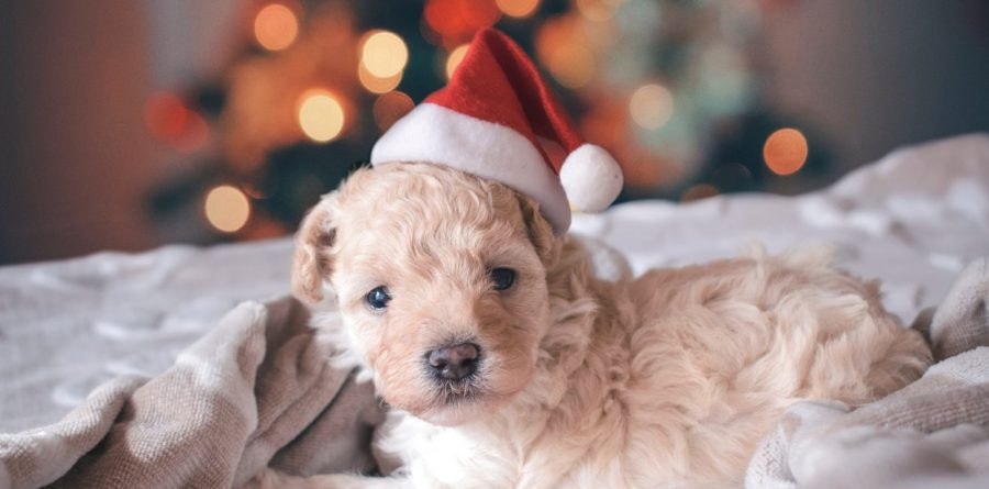 Paws for thought before you put your dog at risk this Christmas
